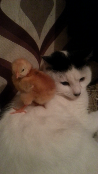 my cat max and my rhode island chick