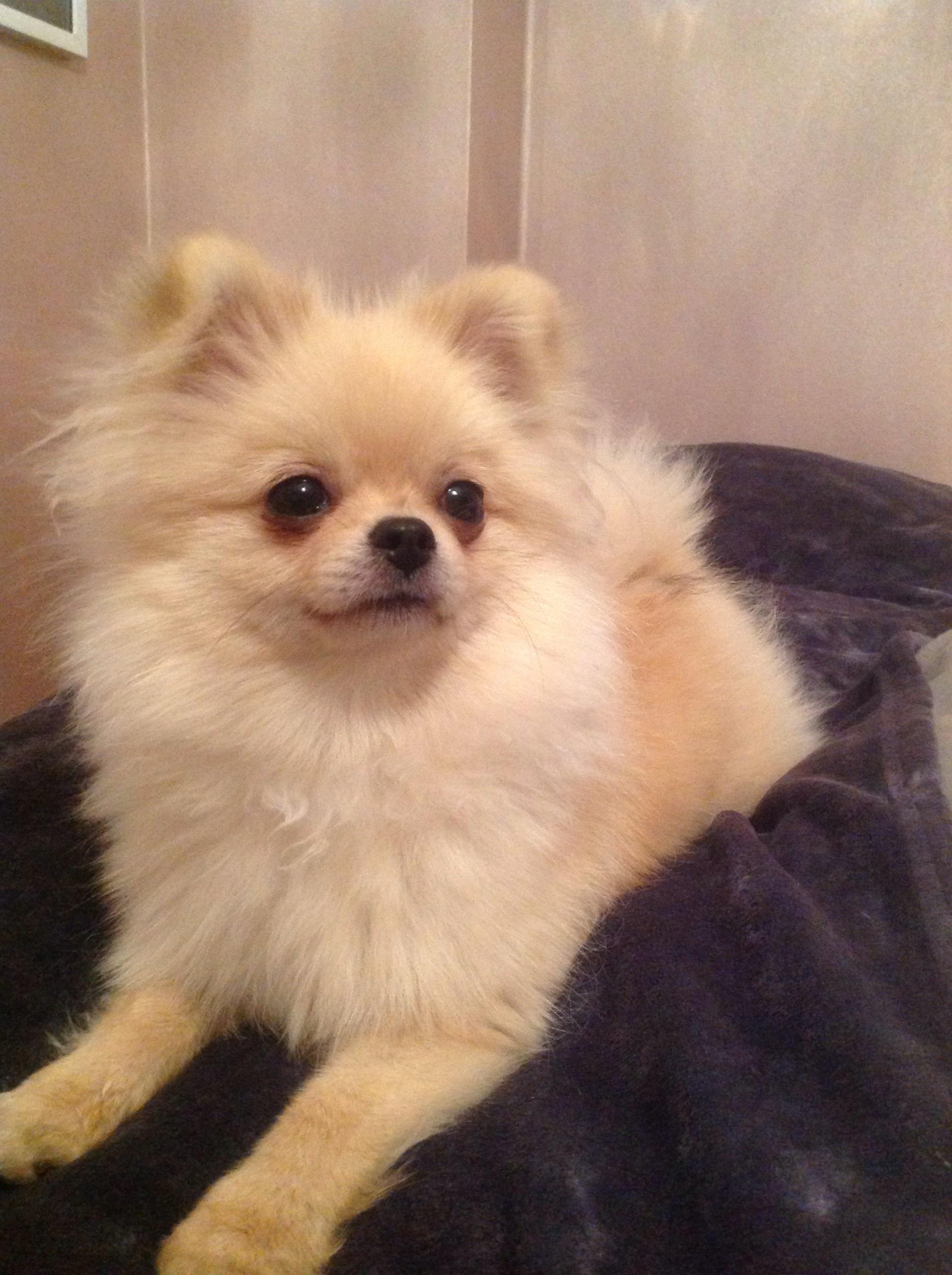 Góra Pomeranian   Dogs   Informacje o rasie   Omlet FH15
